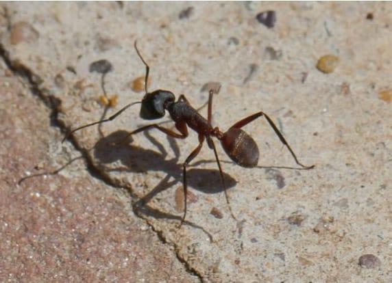 Las hormigas buscan un sitio en nuestro hogar