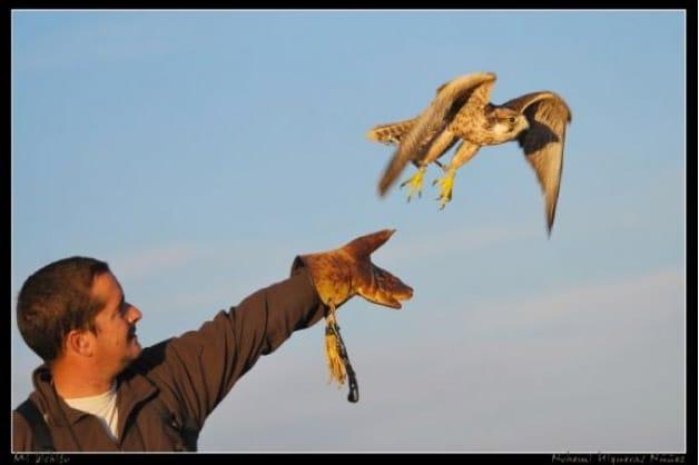 Control de plagas de aves en Madrid, con aves rapaces