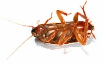 Mis curiosidades favoritas de las cucarachas