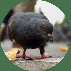 Foto plaga de palomas