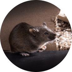 Foto plaga de ratas en casa