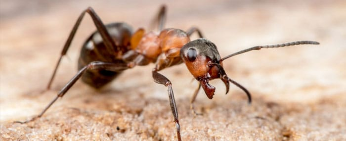Eliminaci n de plagas de hormigas en madrid american for Como eliminar plaga de hormigas