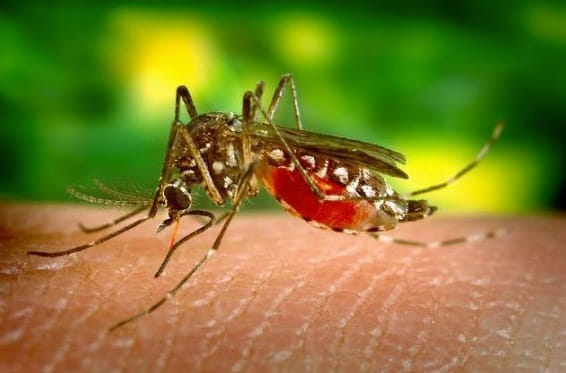 El mosquito tigre recorre las autopistas del Levante