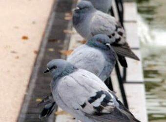 Las palomas y el problema que provocan en la salud pública