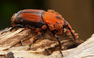 El picudo rojo, el insecto que devora las palmeras de Elche