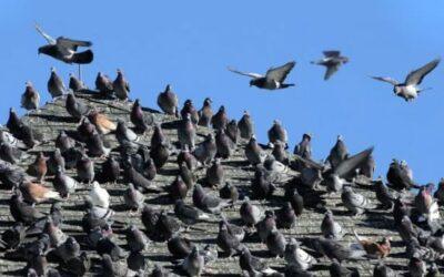 Anticonceptivos para palomas para inhibir la reproducción