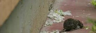 Cómo actuar ante una plaga de ratas