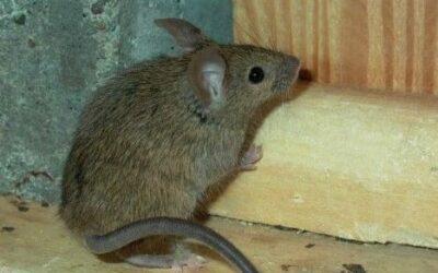 Medidas de prevención y control de ratones en nuestros hogares
