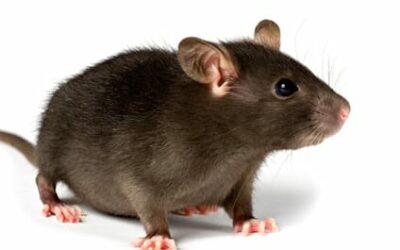 """Una nueva especie: la rata grande """"no colaboradora"""""""
