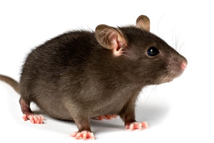 Una nueva especie: la rata grande «no colaboradora»