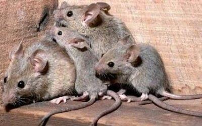 ¿Cómo podemos evitar el acceso de ratas en casa?