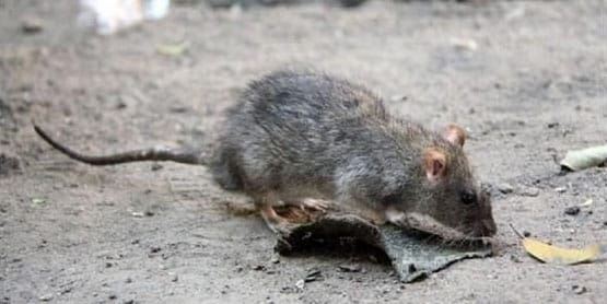Incremento de ratas y ratones en Madrid