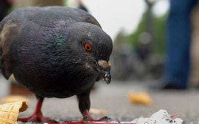 ¿Te molestan las palomas? Contrata un control de plagas de palomas