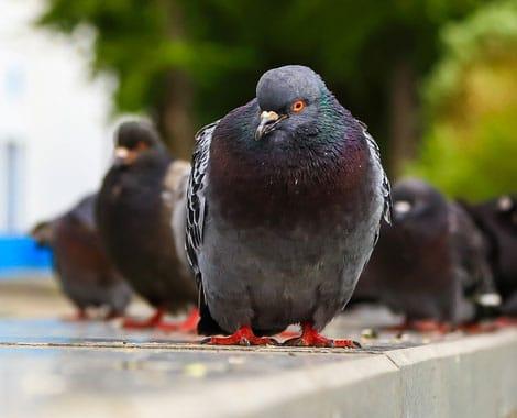 Control de aves con rapaces