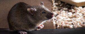 ¿Dónde suelen aparecer los ratones y como acabar con ellos?