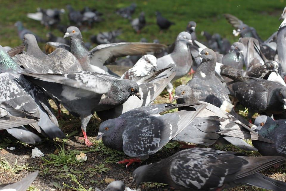 Maneras de ahuyentar las palomas: Contrata un control de plagas
