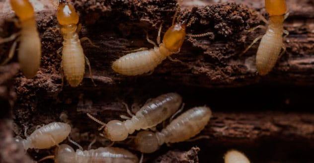 Tratamiento y fumigación de la madera: ¿Cómo acabar con las termitas?
