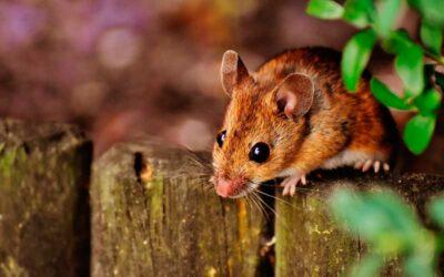 Las plagas de ratones en Madrid, una de las más comunes en los hogares