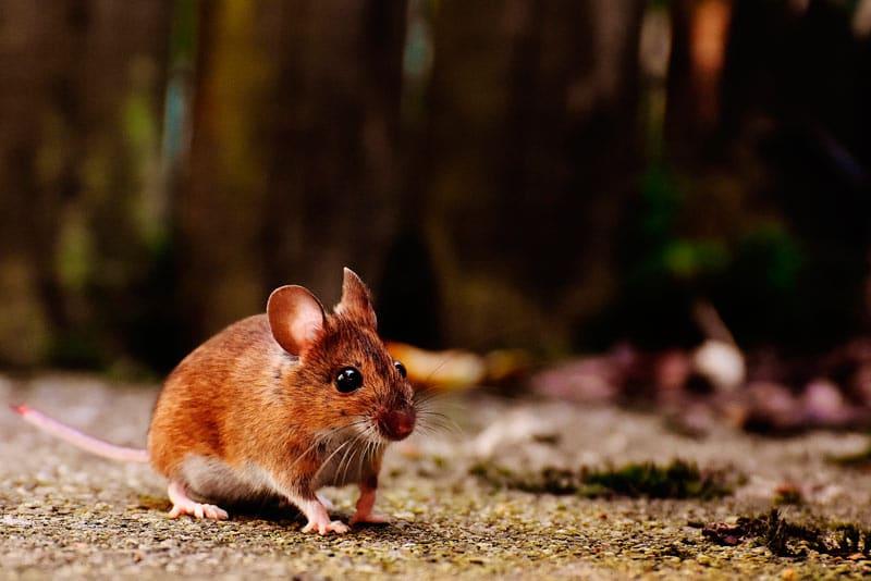 Control de plagas de ratas y ratones Madrid: ¿Cómo prevenirlas?