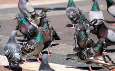 Control aves Madrid: conoce las enfermedades de las palomas