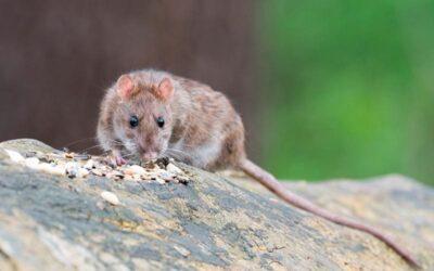 Control plagas ratas Madrid: los roedores no desaparecen con el frío