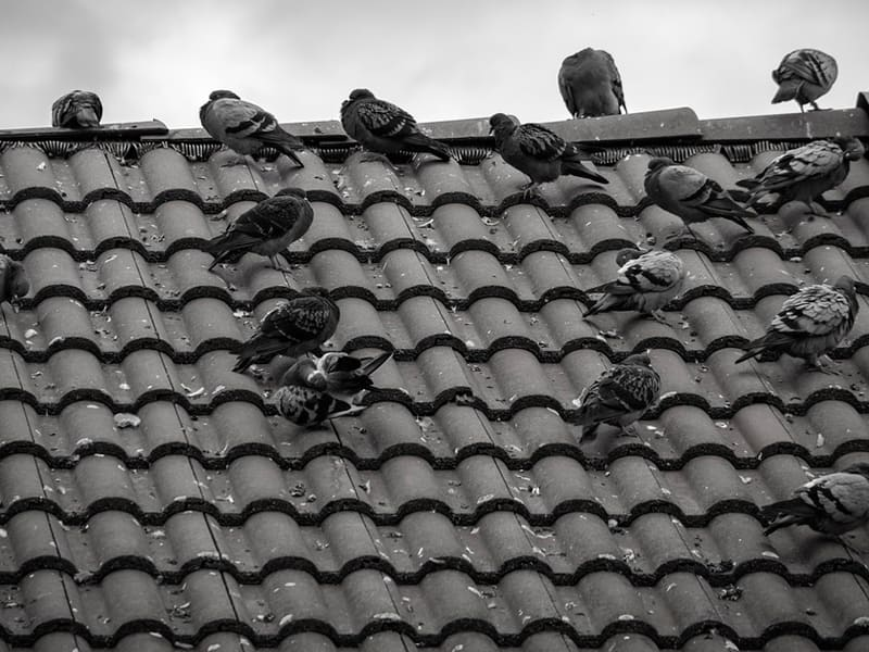 Control de plagas de palomas Madrid: ¿Cómo ahuyentarlas de un edificio?