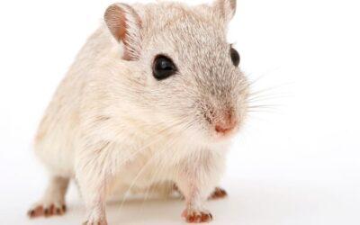 Plagas de ratas y ratones: enfermedades que transmiten