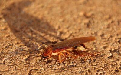 Control de plagas de cucarachas: ¿cómo detectarlas?