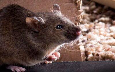 Condiciones que propician las plagas de roedores