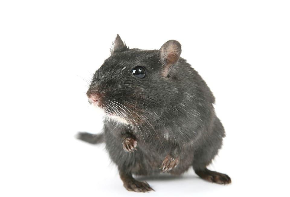 Control de ratas y roedores: conoce los tipos que existen en España