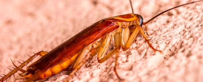 Control de plaga de cucarachas: cómo encontrar los nidos