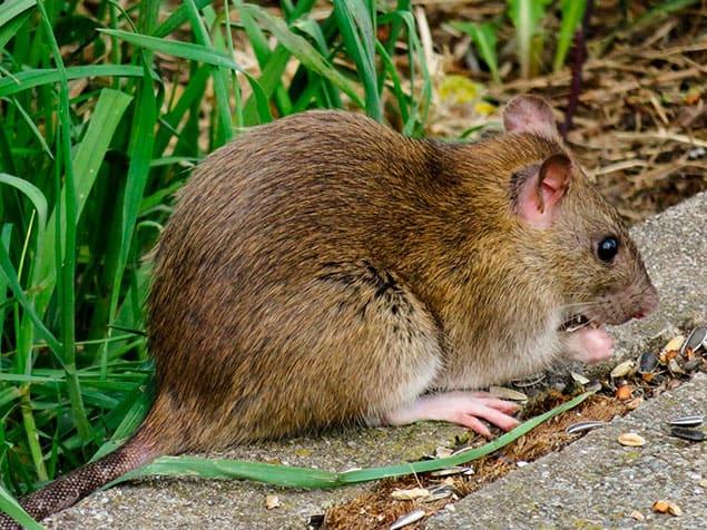 Control de plagas de invierno: fumigación de rata gris o rata común