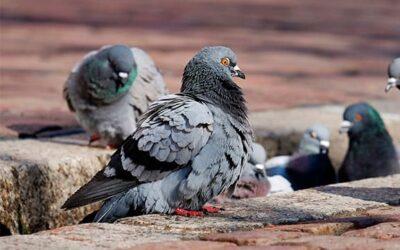 Procedimientos para ahuyentar palomas en Madrid