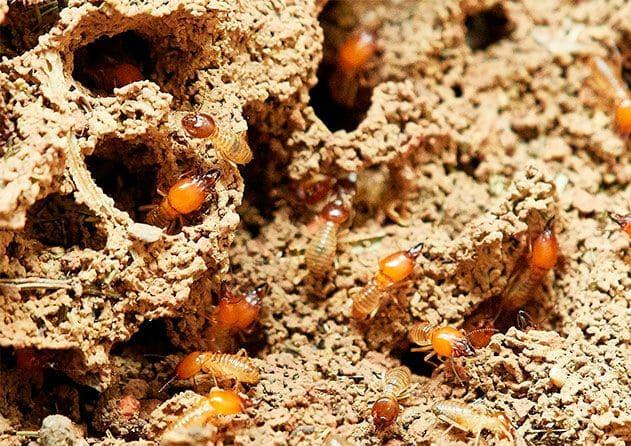 Daños y tratamiento contra plagas de termitas y carcoma