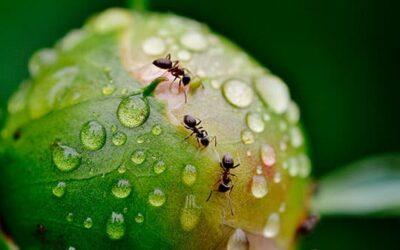 ¿Cómo prevenir y eliminar plagas de hormigas en el jardín?