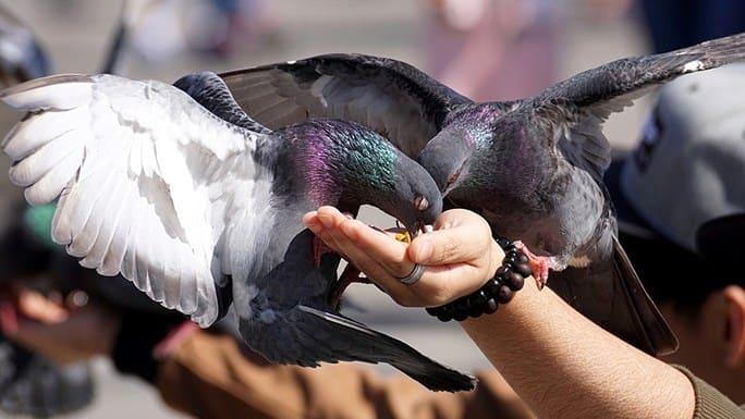 Control de palomas Madrid: ¿representan estas aves un riesgo para la salud?