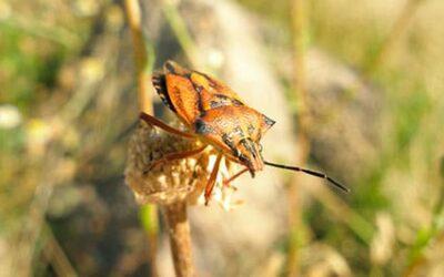Eliminación de chinches, ¿por qué son tan comunes estas plagas en otoño?