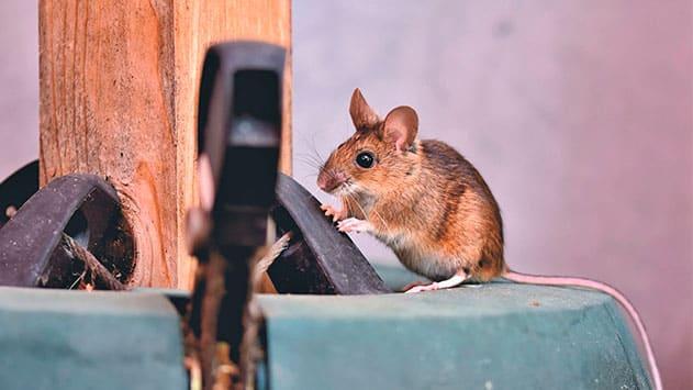 Desratización en Madrid: ¡Acaba con la plaga de ratas y roedores de tu casa!