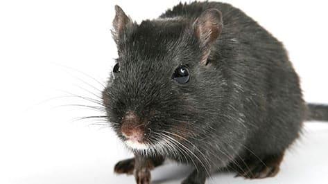 Cómo combatir una plaga de ratas y ratones paso a paso de forma eficaz
