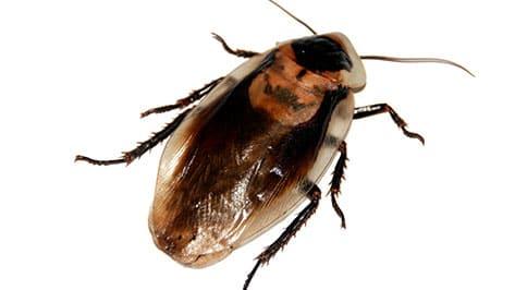 ¿Por qué tengo una plaga de cucarachas en mi casa o negocio? ¡Te lo contamos todo!