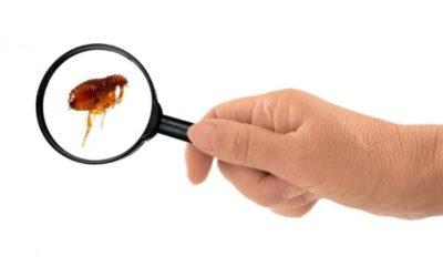 ¿Cómo detectar y eliminar una plaga de pulgas?