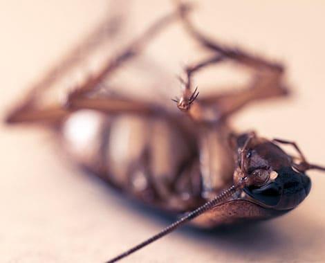 ¿Por qué salen las cucarachas con la llegada del calor?