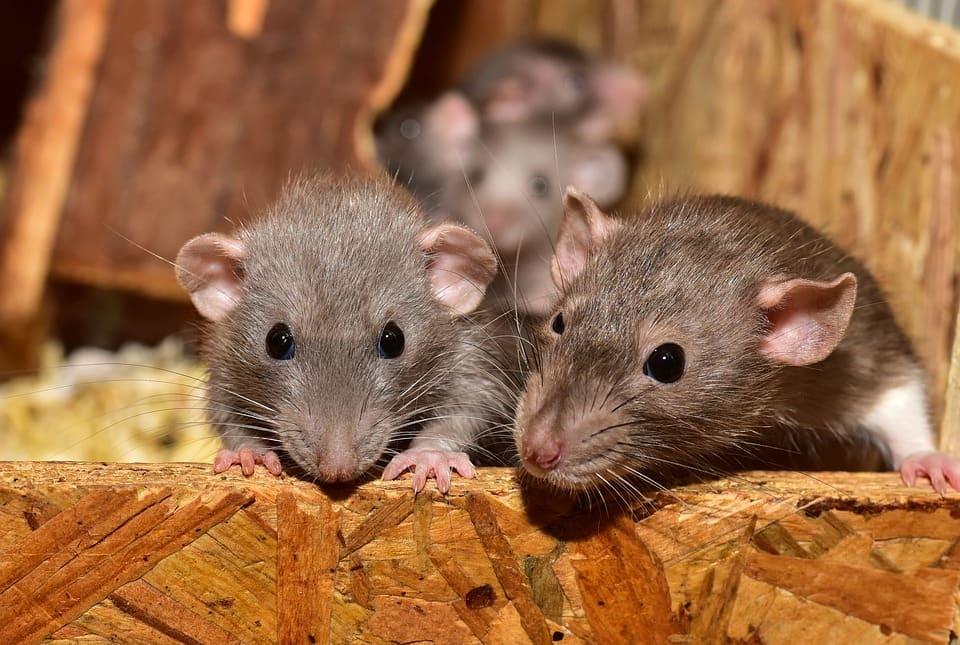 Cómo ahuyentar o eliminar ratas y ratones en casa: ¡de principio a fin!